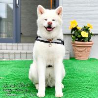 秋田犬TAM タム