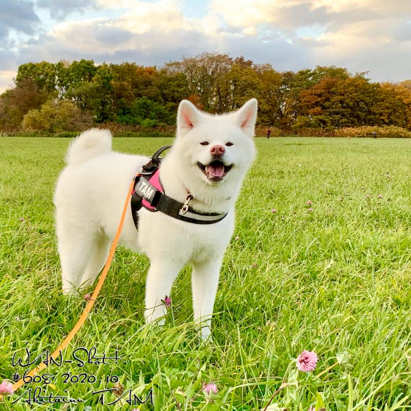 秋田犬TAMと散歩