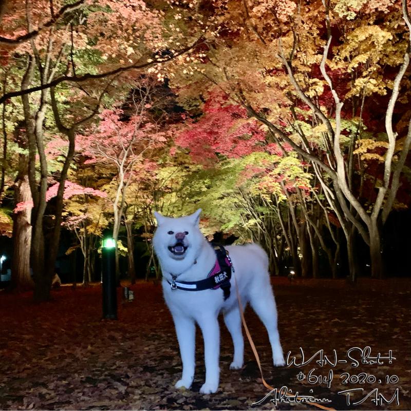 秋田犬と紅葉