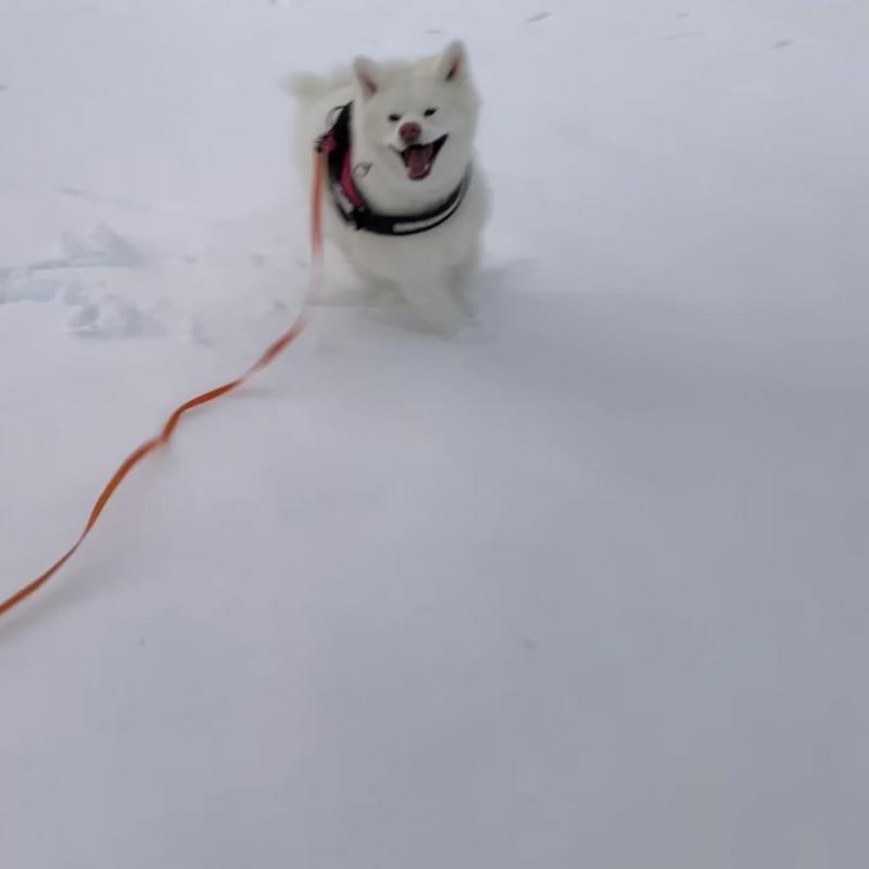 秋田犬と雪