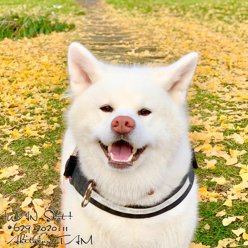 秋田犬 TAM タム 白