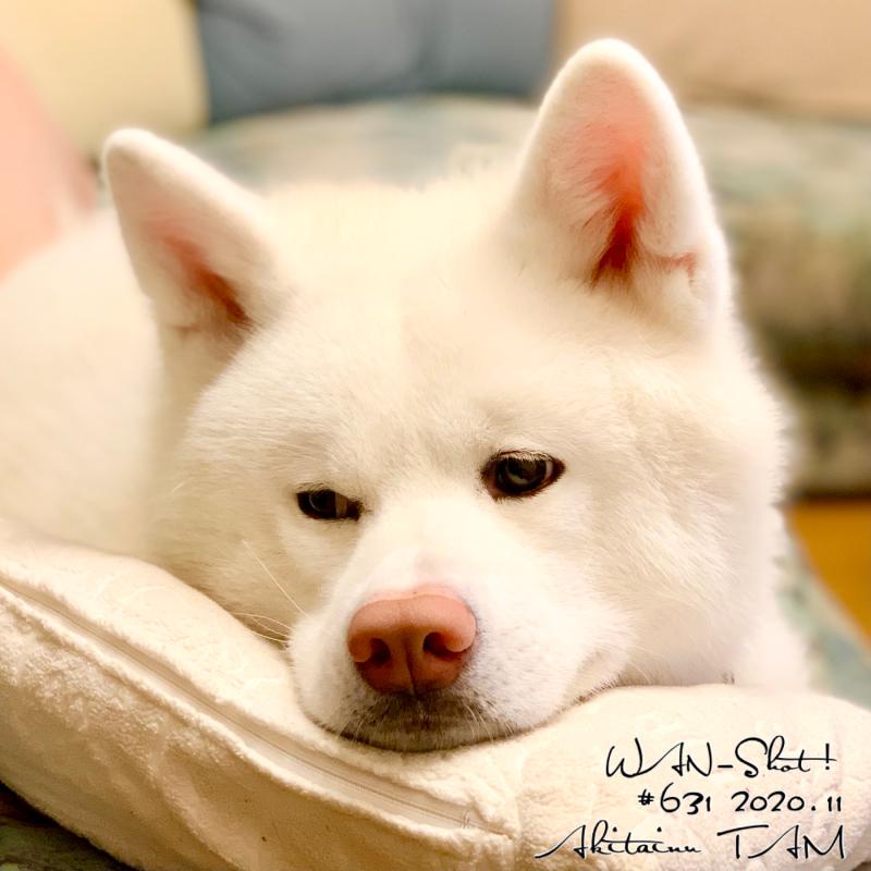 秋田犬 TAM 白