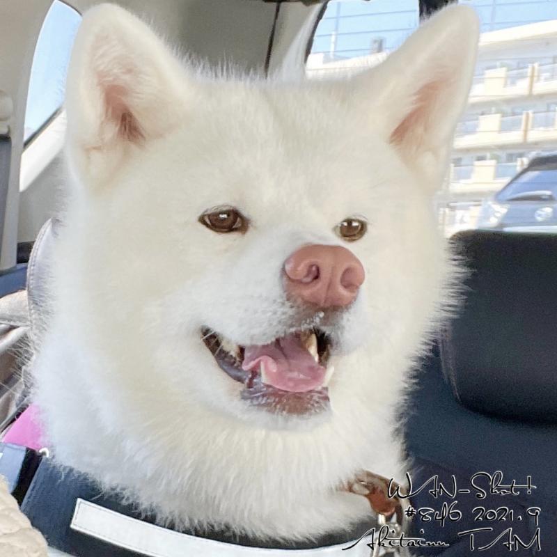 秋田犬タム